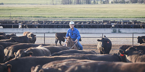 Caring for Cattle